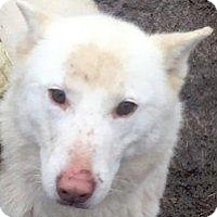 Siberian Husky Mix Dog for adoption in Shingleton, Michigan - Avalance