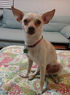 Chihuahua/Italian Greyhound Mix Dog for adoption in Fort Lauderdale, Florida - Rocko B.