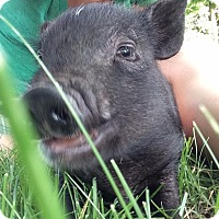 Pig (Potbellied) for adoption in Bruce Township, Michigan - Hamlet