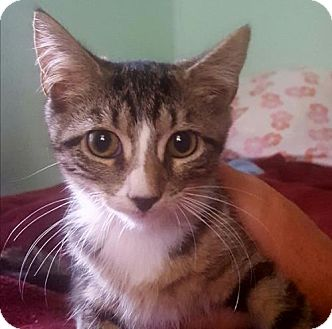 Domestic Shorthair Kitten for adoption in Baltimore, Maryland - Fiona