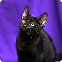 Domestic Shorthair Kitten for adoption in Kettering, Ohio - Kenton