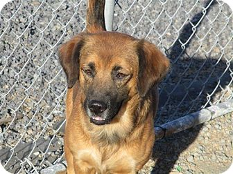 Australian Shepherd/Golden Retriever Mix Dog for adoption in Liberty Center, Ohio - Shanney