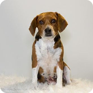 Beagle Dog for adoption in St. Louis Park, Minnesota - Katrina
