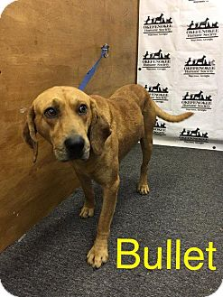 Bloodhound Dog for adoption in Waycross, Georgia - Bullet