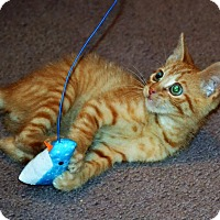 Domestic Shorthair Kitten for adoption in Albemarle, North Carolina - Ozzie