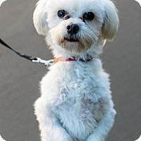 Adopt A Pet :: Matzo Ball - Palo Alto, CA
