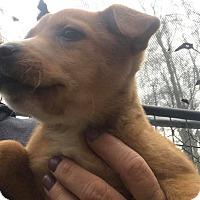 Adopt A Pet :: Vixen - Smithtown, NY