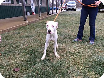 American Bulldog Mix Dog for adoption in Mechanicsburg, Ohio - Annie