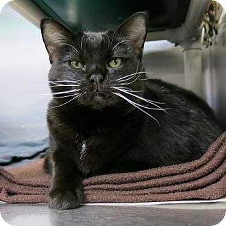 Domestic Shorthair Cat for adoption in Northbrook, Illinois - Miss Noelle
