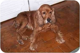 Cocker Spaniel Dog for adoption in Albuquerque, New Mexico - Lady