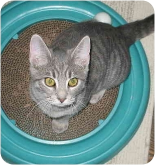 Domestic Shorthair Kitten for adoption in Cincinnati, Ohio - GiGi kitten