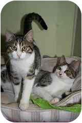 Domestic Shorthair Kitten for adoption in Marietta, Georgia - Mercy