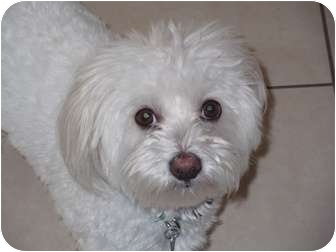 bichon frise maltese mix polar adopted dog po1216 ocean ridge fl bichon 1271