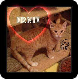 Domestic Shorthair Cat for adoption in Mobile, Alabama - Ernie