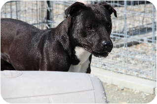 Boxer Mix Dog for adoption in Midlothian, Virginia - Rone f/k/a Mars
