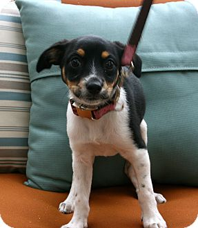 Beagle/Chihuahua Mix Puppy for adoption in Mission Viejo, California - Kailey