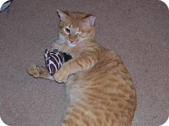 Domestic Shorthair Cat for adoption in Surprise, Arizona - Teddy