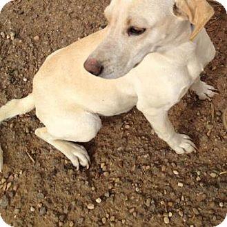 Labrador Retriever Mix Dog for adoption in Childress, Texas - Lady