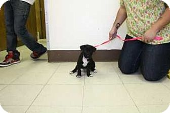 Labrador Retriever/Border Collie Mix Puppy for adoption in Evergreen, Colorado - Noosa