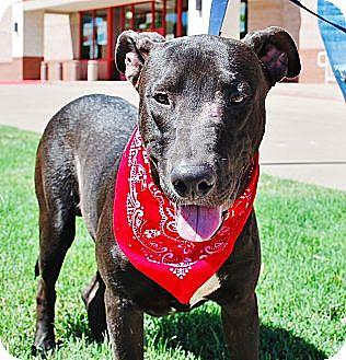 Labrador Retriever/Shepherd (Unknown Type) Mix Dog for adoption in White Settlement, Texas - Smokey