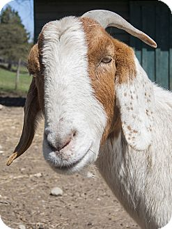 Goat for adoption in Saugerties, New York - Cupid