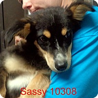 Adopt A Pet :: Sassy - baltimore, MD
