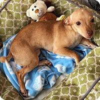 Adopt A Pet :: Cannoli - Livermore, CA