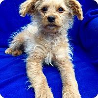Adopt A Pet :: Maya Puppy - Encino, CA