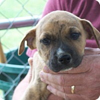 Adopt A Pet :: Brindle - Hohenwald, TN