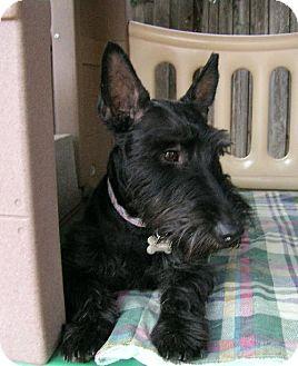Scottie, Scottish Terrier Dog for adoption in Dallas, Texas - Max *PENDING!*
