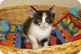 Calico Kitten for adoption in Jackson, Mississippi - Barbie