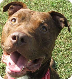 Pit Bull Terrier Mix Dog for adoption in Port Jervis, New York - Drake