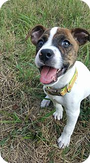 Pit Bull Terrier Mix Puppy for adoption in Charlotte, North Carolina - Brantley
