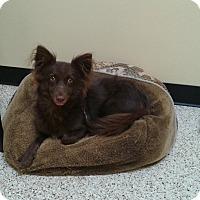 Adopt A Pet :: Scarlett - Thousand Oaks, CA