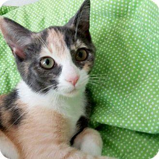 Calico Kitten for adoption in Columbus, Ohio - Maple Cinnamon
