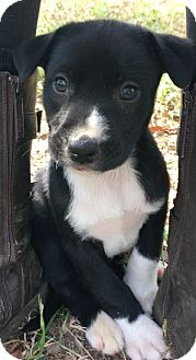Great Dane/Great Pyrenees Mix Puppy for adoption in Birmingham, Alabama - Penelope