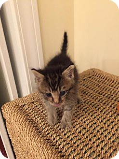 Domestic Shorthair Kitten for adoption in Johnson City, Tennessee - Lincoln