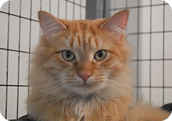 Domestic Shorthair Cat for adoption in Winchendon, Massachusetts - Peaches & Cream