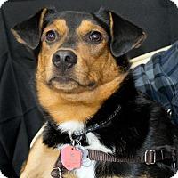 Adopt A Pet :: Remington-Vp Litter - Livonia, MI