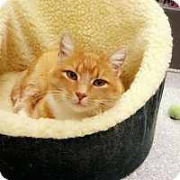 Domestic Shorthair Cat for adoption in Chaska, Minnesota - Fiora