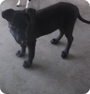 German Shepherd Dog/Labrador Retriever Mix Puppy for adoption in Bonifay, Florida - Leaf