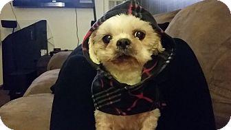 Shih Tzu Mix Dog for adoption in Santa Ana, California - Sweetie