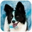 Photo 1 - Papillon/Sheltie, Shetland Sheepdog Mix Dog for adoption in Mesa, Arizona - Bandit