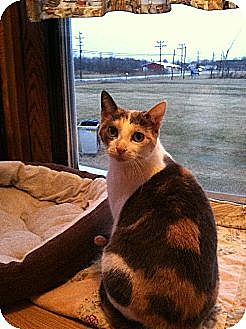 Domestic Shorthair Cat for adoption in Jefferson, Ohio - Tally