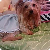 Adopt A Pet :: Scarlett - Lorain, OH