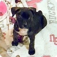 Adopt A Pet :: AUSSIE/PITTI PUPPIES - Winnetka, CA