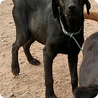 Adopt A Pet :: Blackie - Surprise, AZ