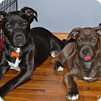 Adopt A Pet :: Capone - Broken Arrow, OK
