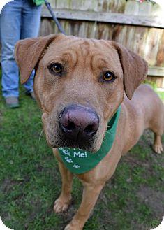 Labrador Retriever Mix Dog for adoption in Darlington, South Carolina - Bogey