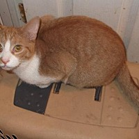Adopt A Pet :: Mango - Livonia, MI